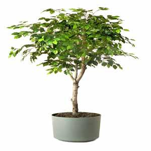 ficustree 1 VizagShop.com