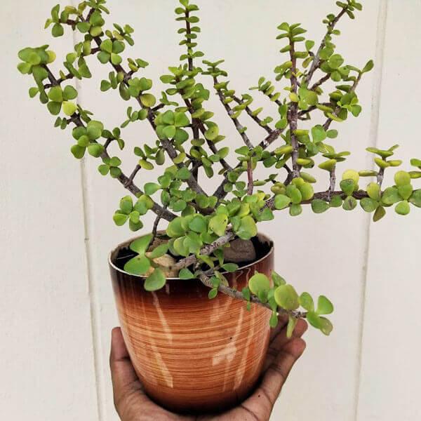 jade plant vizag 1 VizagShop.com